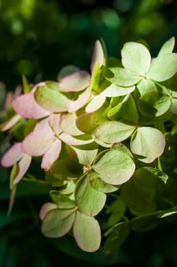 hortenzia produktová foto